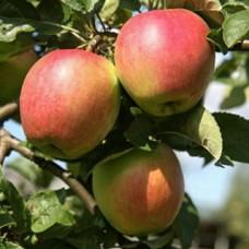 Яблоня Веньяминовское