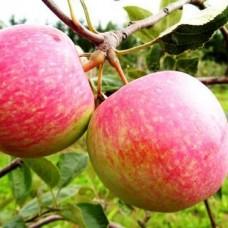 Яблоня сорт Конфетное