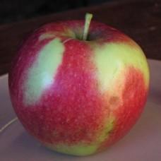 Яблоня Россошанское багряное